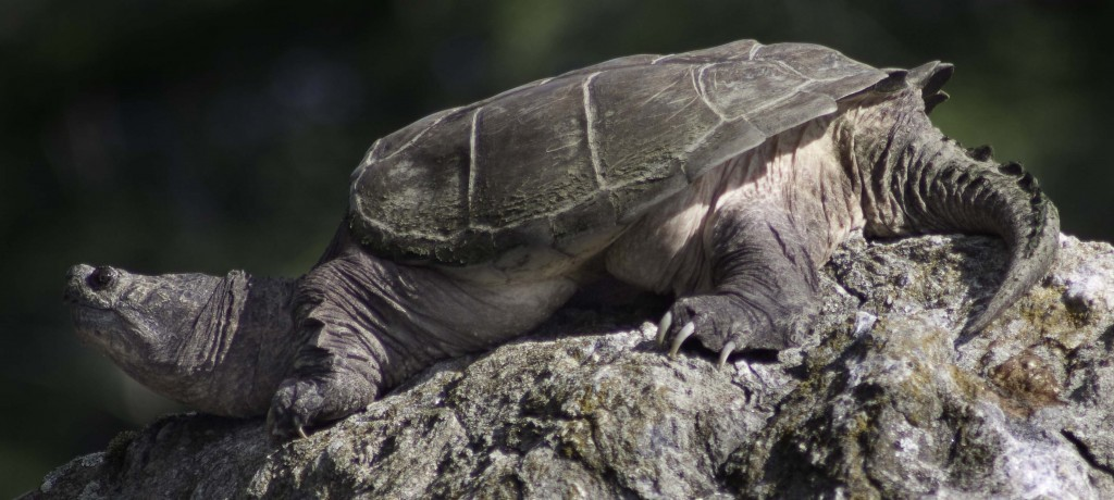 Snapping Turtle, Lake Megunticook